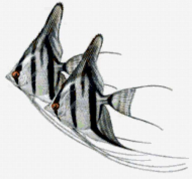 Рыбки - скалярии, рыбы, рыбка,