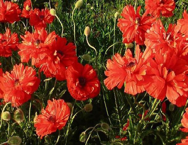 Маки махровые, маки, цветы,