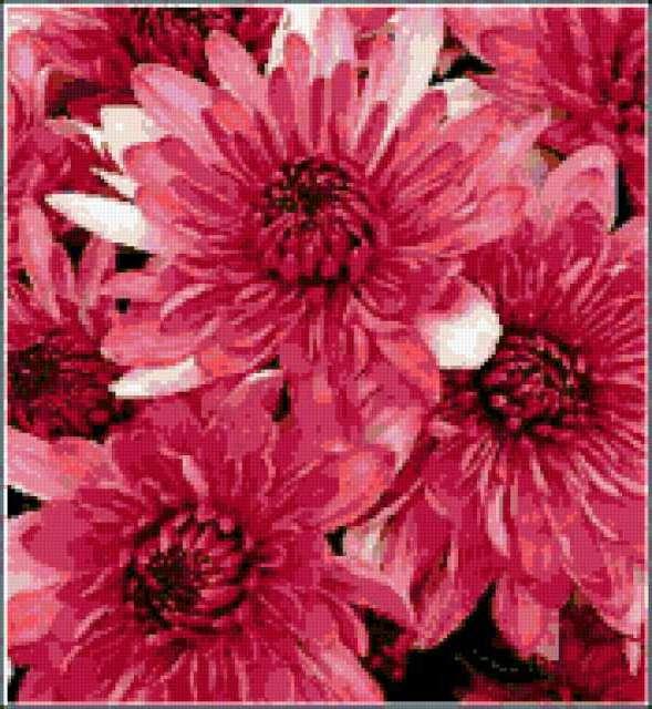 Хризантемы, предпросмотр