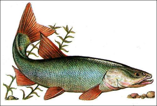 Рыба - лосось, рыбы, рыбка,
