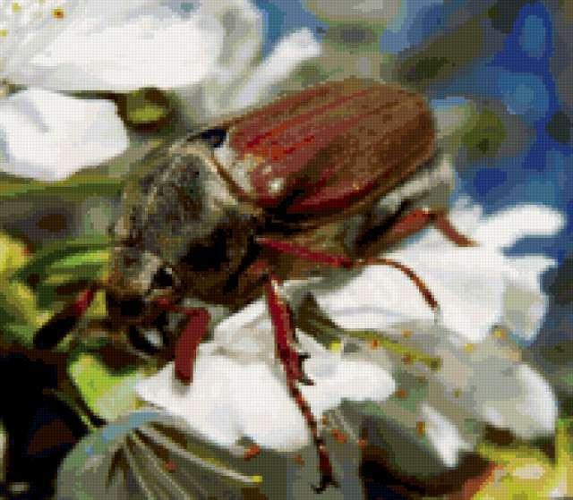 Майский жук , насекомые