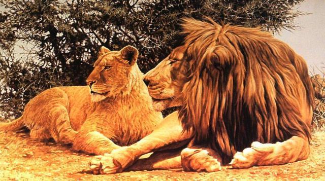 Лев и львица, львица, семья,