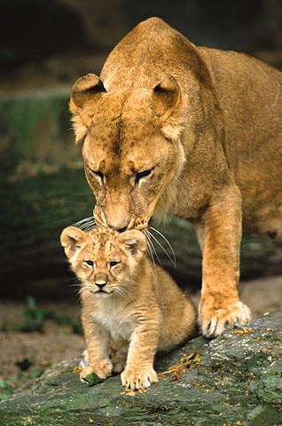 Львица с львёнком, львица,