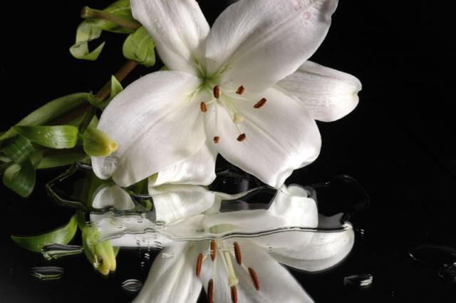 Лилия в отражении, лилия