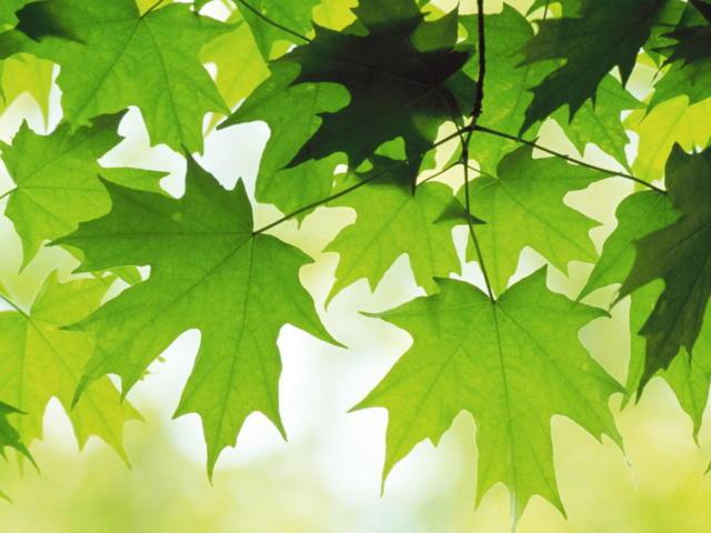Кленовые листья, оригинал