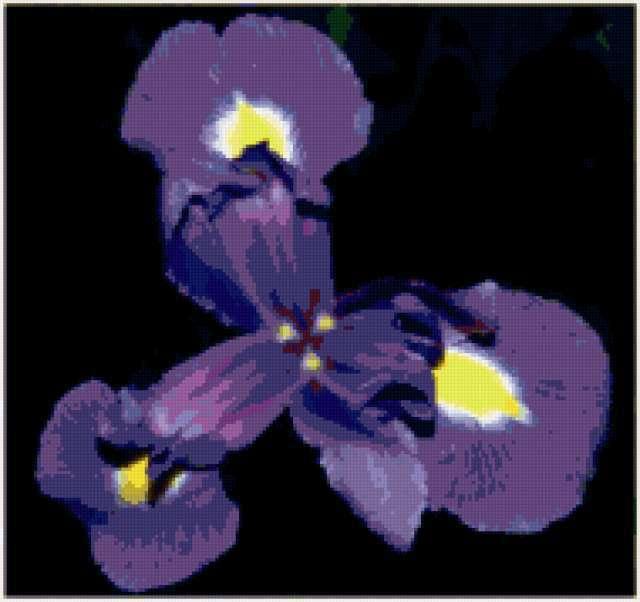 На черном фоне, цветы, ирис