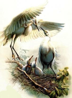 Цапли у гнезда, птицы, глухарь