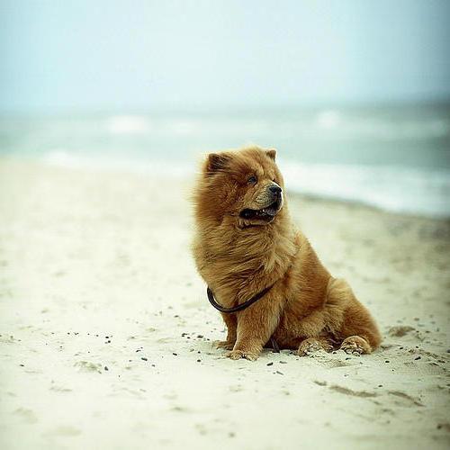 собака, чау-чау, пляж,