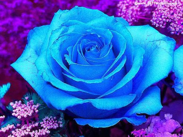 Голубая роза, оригинал