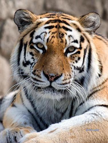 Амурский тигр, животные, кошки