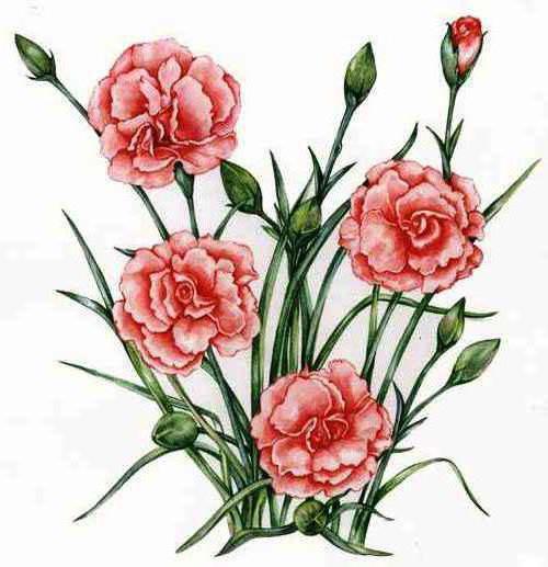 Цветы нежной гвоздики, цветы,