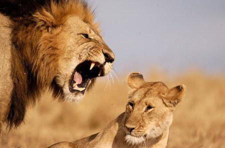 Львы (четкая схема), львы лев