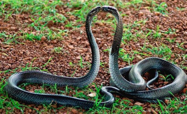 Змеиная любовь (четкая схема),