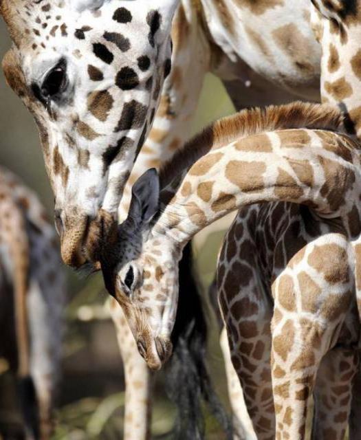 Жираф (четкая схема), жираф