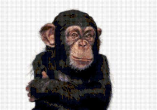 Шимпанзе (четкая схема)