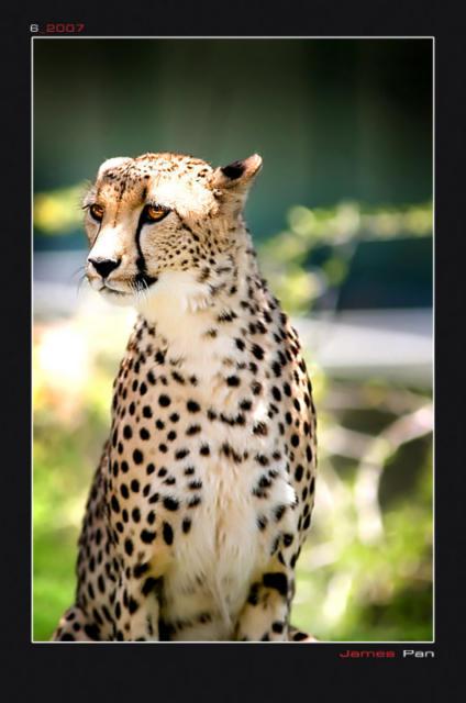 Гепард (четкая схема), гепард