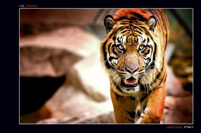 Тигр (четкая схема), тигр