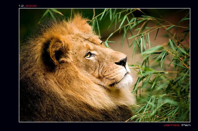 Лев (Четкая схема), львы лев