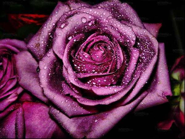 Роза после дождя, оригинал