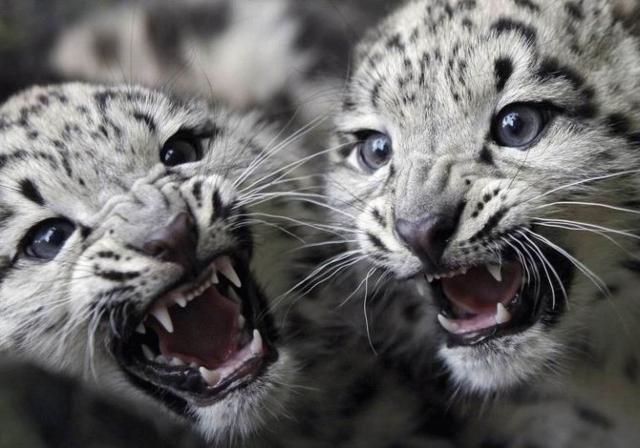 Тигрята, оригинал