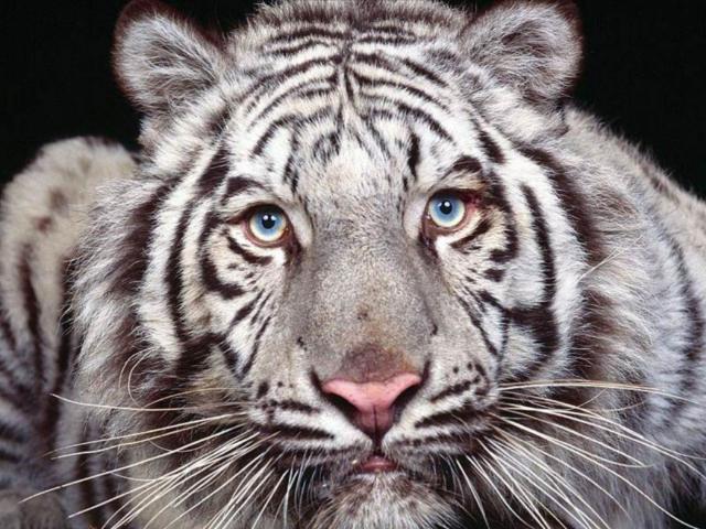 Белый тигр (четкая схема),