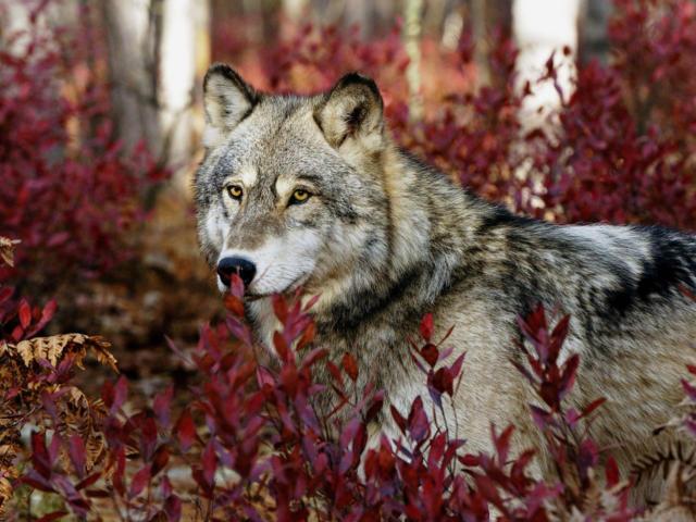 Волк (четкая схема) , волк