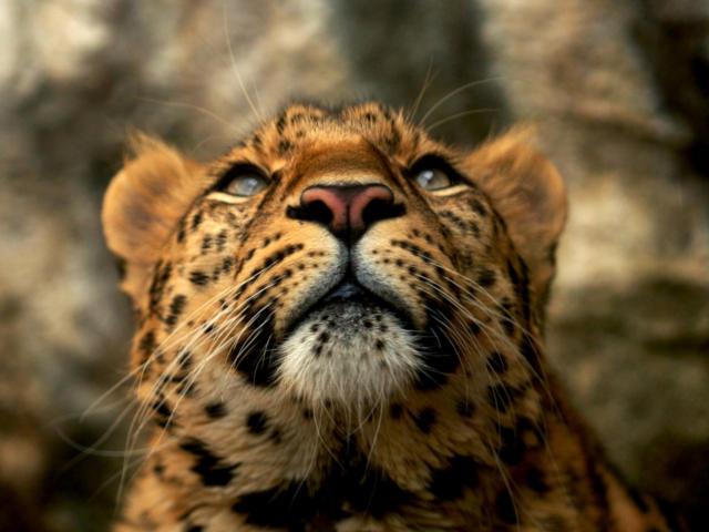 Леопард (Четкая схема)