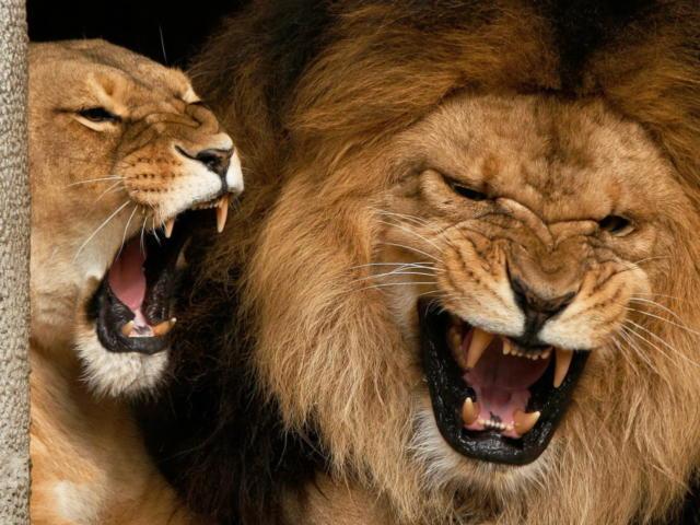 Львы (четкая схема), оригинал