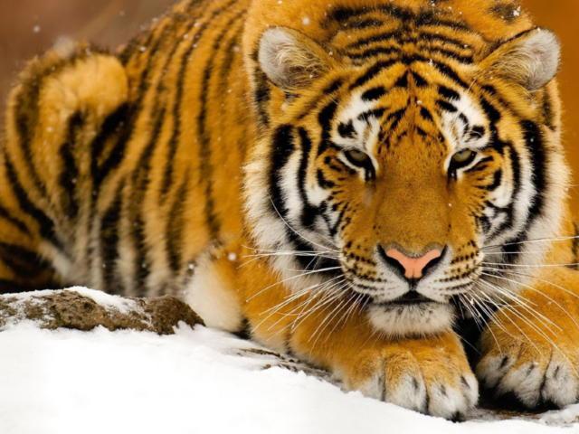 Тигр (красивая и четкая схема)