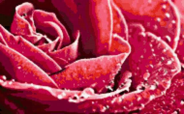 Роза в росе, предпросмотр