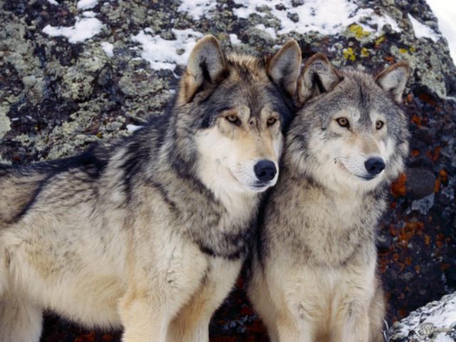 Два серых волка, оригинал