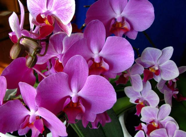 Розовая орхидея, орхидея