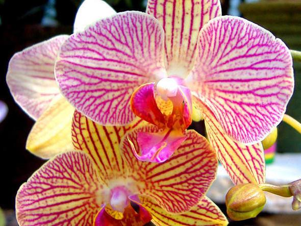 Желто-розовая орхидея