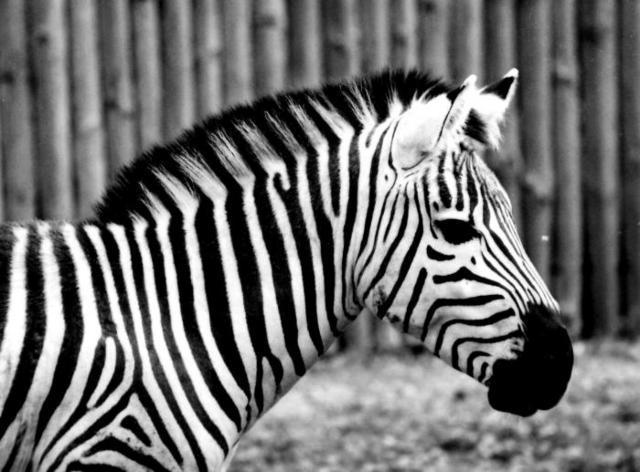 Черно-белая зебра, оригинал