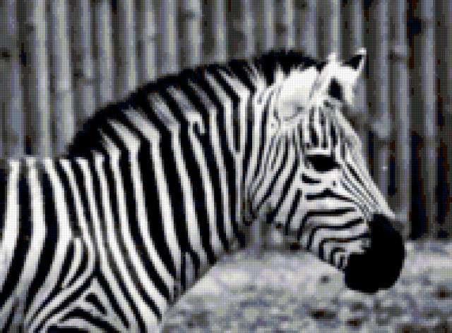 Черно-белая зебра, зебра,