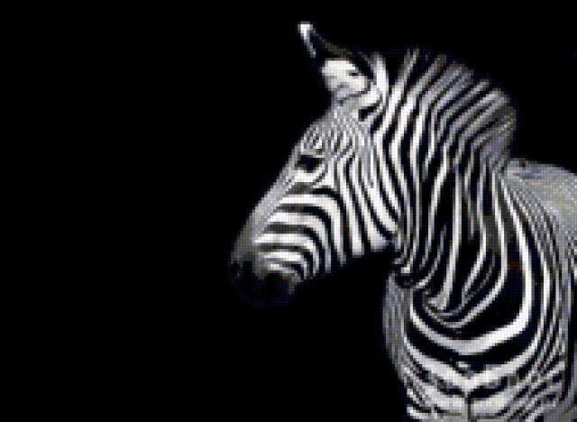 Зебра на ченорм фоне,