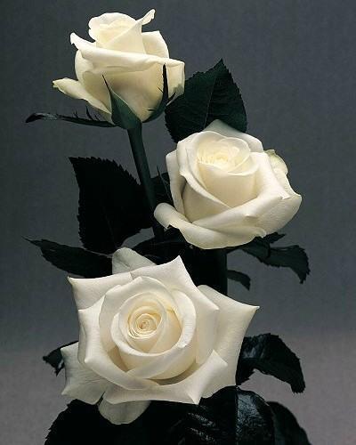 Белые розы, цветы.розы