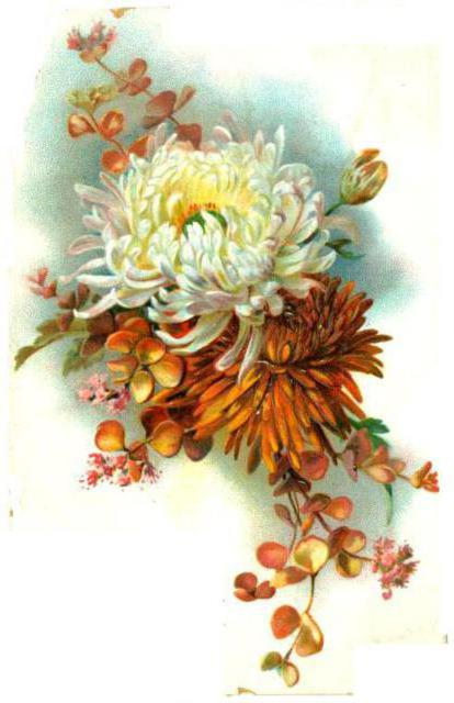 Хризантема, цветок, хризантема