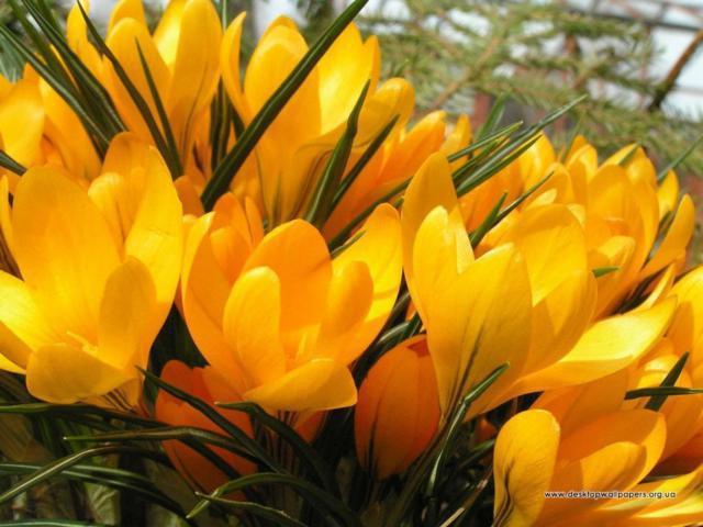 Желтые крокусы, желтые крокусы