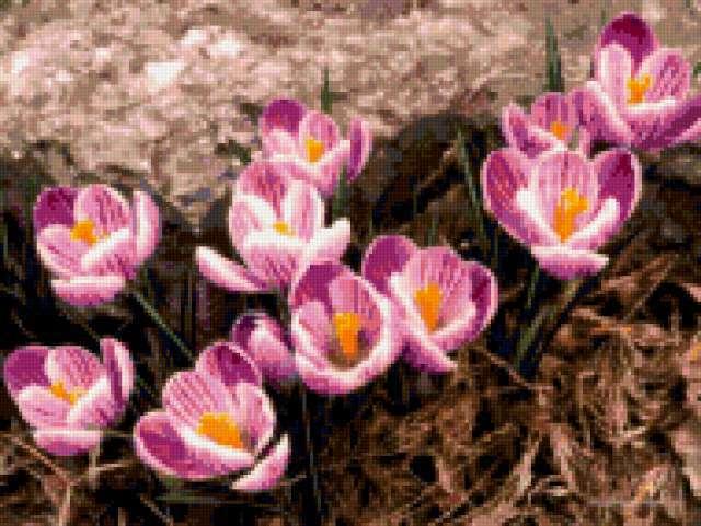 Розовые крокусы, предпросмотр