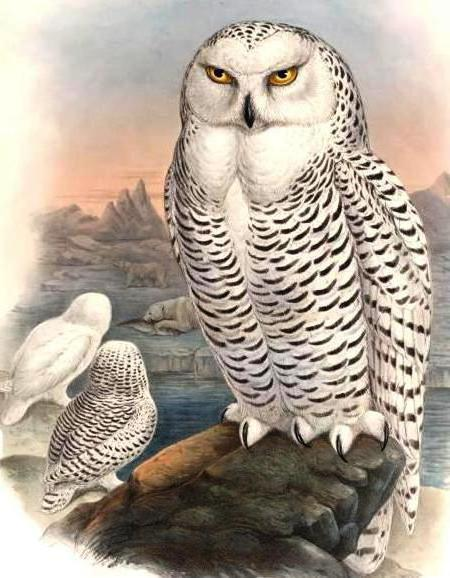 Полярная сова, природа, птицы,