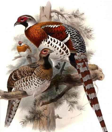 Лесной фазан, природа, птицы,