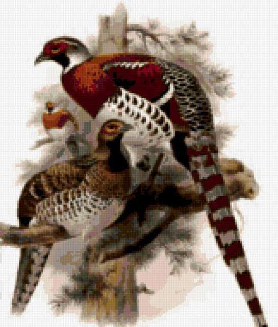 Лесной фазан, предпросмотр