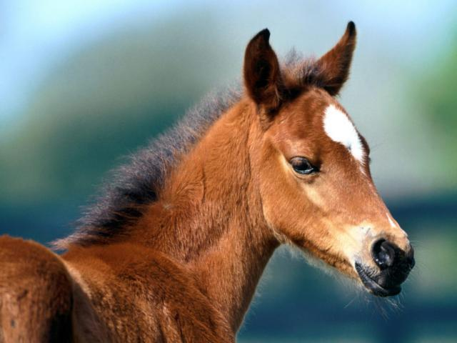 Жеребёнок, конь, лошадь