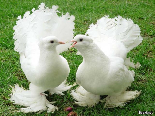 Свадебные голуби, оригинал