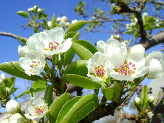 Груша цветет, оригинал
