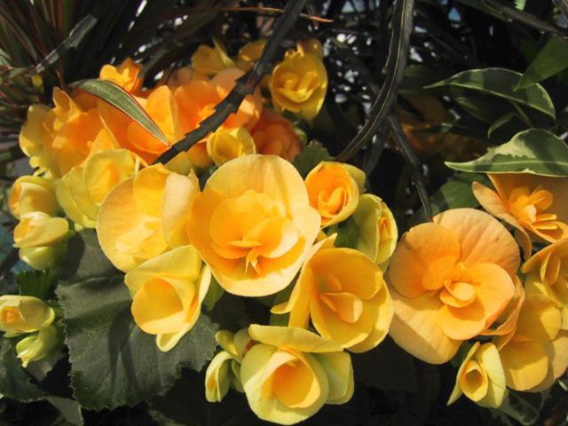 Розы, желтые розы, цветы,