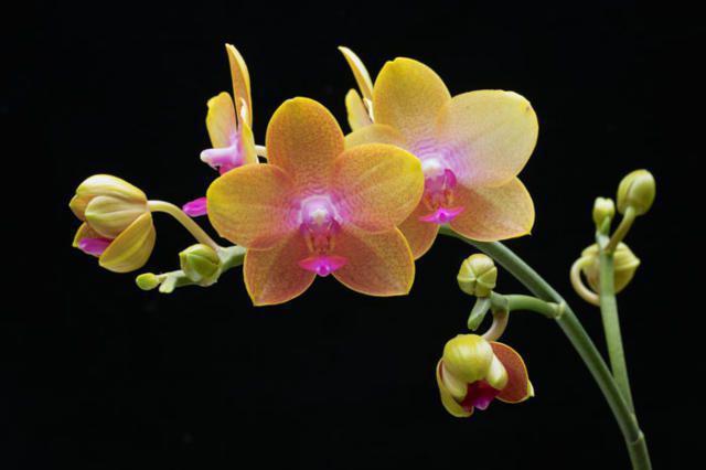 Орхидея на черном фоне,