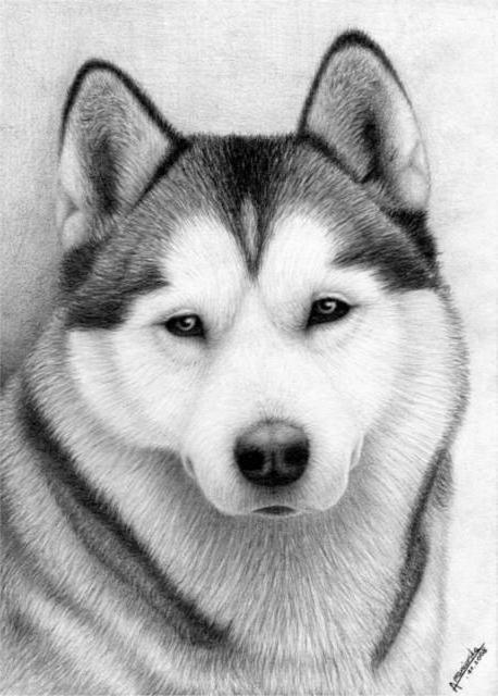 Хаски, собака, животные