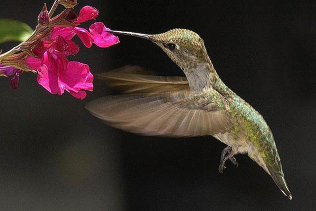 Птица колибри,